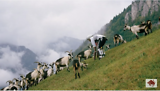 Thomas Thwaites - The man who tried to live as a GOAT, living as part of a herd in the Swiss Alps